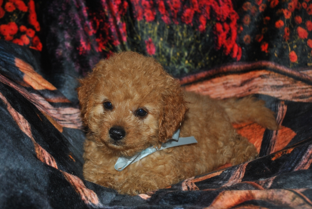 Stump Farm Puppies - Cockapoo Cavapoo Poodle Maltipoo